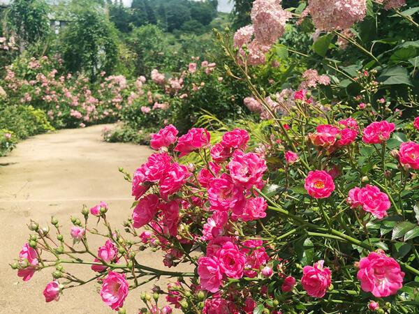 草津温泉から四万温泉へ〈4〉花の中之条